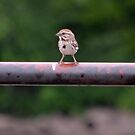 Chipping Sparrow by farmbrough