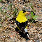 American Goldfinch by farmbrough