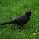 Brewer's Blackbird by farmbrough