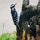 Hairy Woodpecker by farmbrough