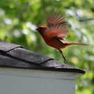 The Cardinal Bird by farmbrough