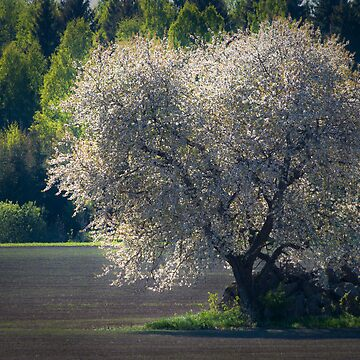Cherry tree in spring by marregurra
