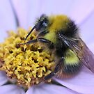 Bumble Bee on Cosmos by AnnDixon