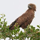 A Brown Snake Eagle by Anthony Goldman