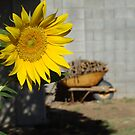 Sunflower Farm by Kelly Leyba