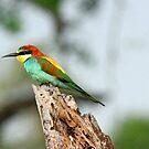 A European Bee-eater by Anthony Goldman