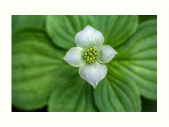 Dogwood Flower I by Ashlee White
