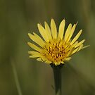 Yellow Wild Flower which I don't know the name of by Stephen Thomas