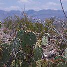 Prickly cactus Ground - US-Mexico Border - Rio Grande - Lajitas - West Texas by seymourpics