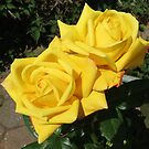 Beauty Queens - Sunkissed Golden Roses von BlueMoonRose