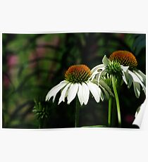 White Echinacea Coneflowers with Bee Poster