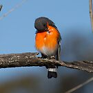 Preening Time  Male  Flame Robin by Kym Bradley