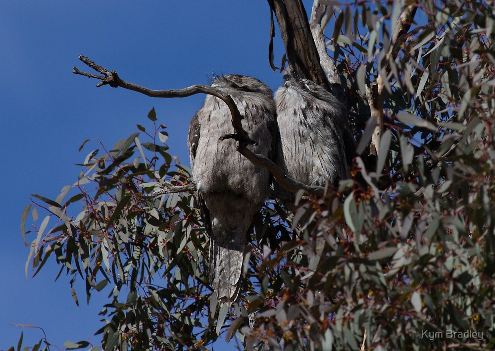 Tawny Frogmouth  Pair  Canberra Australia by Kym Bradley
