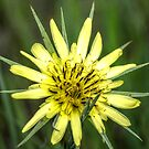 Yellow Salsify I by Ashlee White