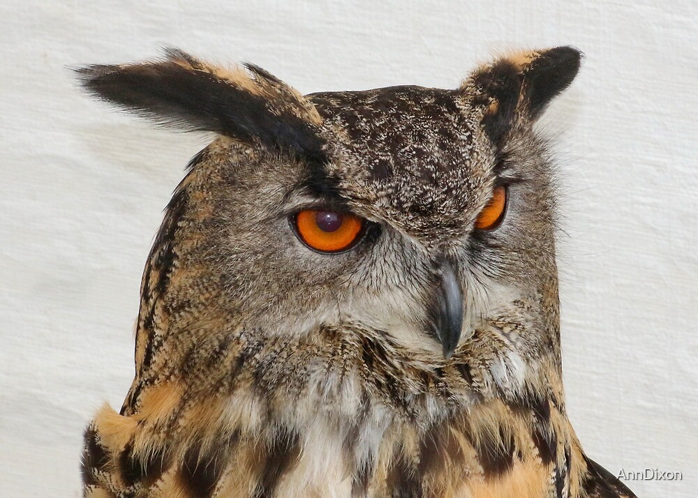 Long Eared Owl by AnnDixon