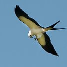 Swallow Tailed Kite With Insect by Joe Jennelle