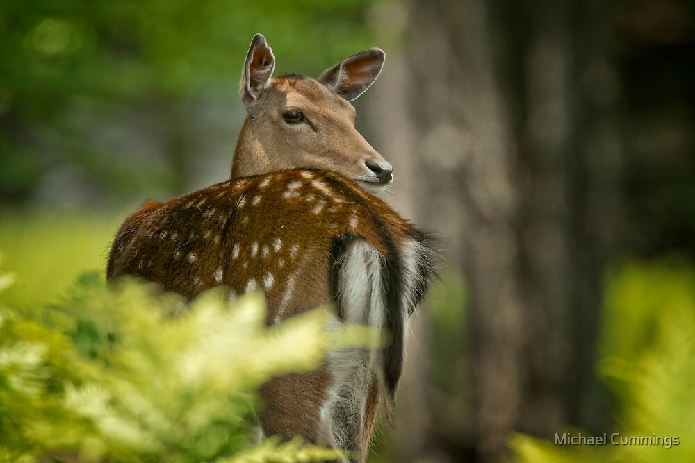 Fallow Deer by Michael Cummings