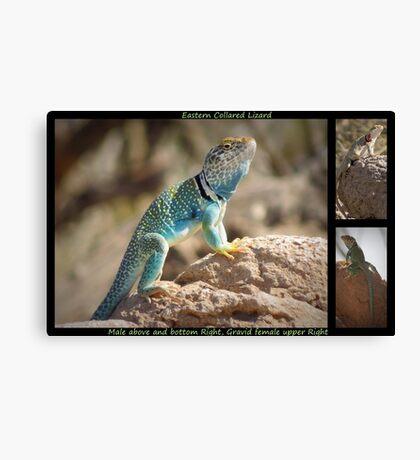 Eastern Collard Lizard ~ Collage Canvas Print