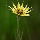 Yellow Salsify II by Ashlee White