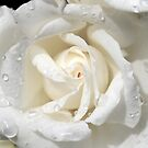 White Rose by MaggieGrace