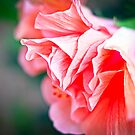 Double Peach Hibiscus II by jenseye