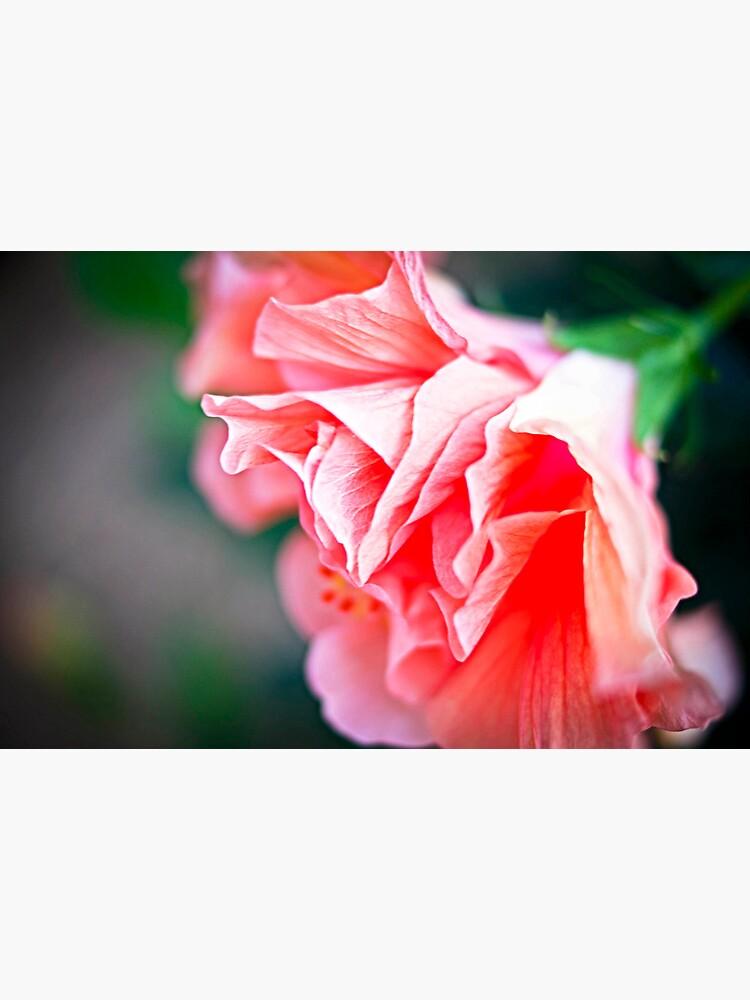 Double Peach Hibiscus II by jenseye