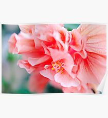 Double Peach Hibiscus I Poster