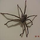 Huntsman Spider - Mentone, Victoria by gen1977
