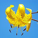 Yellow Lily Flowers Art Prints Lilies Blue Sky Summer by BasleeArtPrints