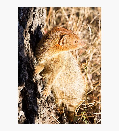 Slender Mongoose  Photographic Print