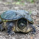 Snapping Turtle V by Ashlee White