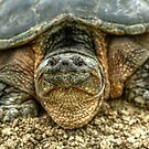 Snapping Turtle VI by Ashlee White