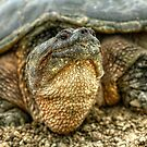 Snapping Turtle VII by Ashlee White