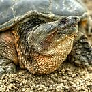 Snapping Turtle VIII by Ashlee White