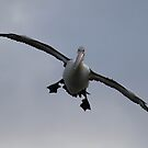 I am Looking For Nemo    Approaching Pelican Canberra Australia  by Kym Bradley