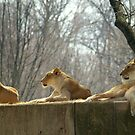 Lions by Valeria Lee
