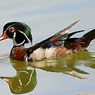 Reflections of a wood duck ! by Anthony Goldman