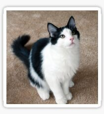 Fluffy Black and White Cat Sticker