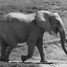 Laughing Elephant in Black & White  by Heather Friedman