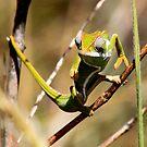 Common Chameleon - Furcifer Lateralalis -  Isalo NP   -  Madagascar by john  Lenagan