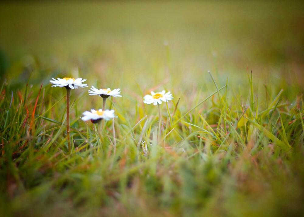 Spring Daisy by LittlePhotoHut
