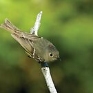 Ruby-crowned Kinglet by Wayne Wood