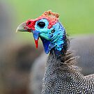 A Helmeted Guinea Fowl by Anthony Goldman