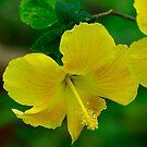 Hibiscus by Brenda Burnett