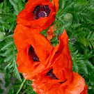 Poppies by Mike HobsoN