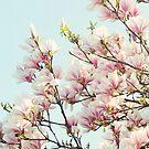 Magnolias by SylviaCook