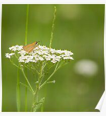 Skipper Butterfly On White Poster