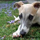 Whippet Puppy Among Jacaranda Flowers by marinar