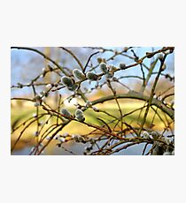 Weeping Pussy Willow Catkins Photographic Print