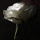 Single White Rose by Happy Endings..... Cards & Prints